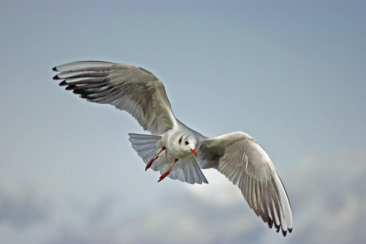 Meeuw - vogelgriep